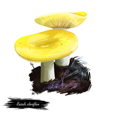 Russula claroflava or yellow swamp brittlegill mushroom closeup digital art illustration. Boletus that has bright yellowish cap and white body. Mushrooming season, plant of gathering plants in forests