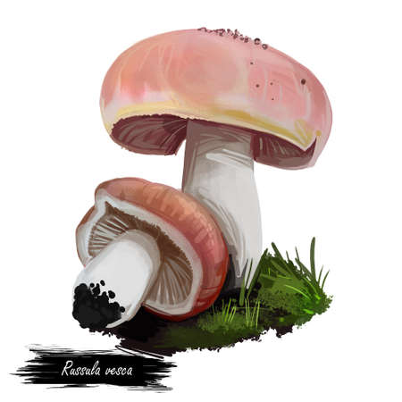 Russula vesca, bare toothed or flirt basidiomycete mushroom closeup digital art illustration. Boletus has light pink cap and white body. Mushrooming season, plant growing in woods and forests.