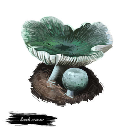 Russula virescens, green cracking or quilted brittlegill mushroom closeup digital art illustration. Old boletus that has flattened wamp color cap. Mushrooming season, plant growing in wood and forest.