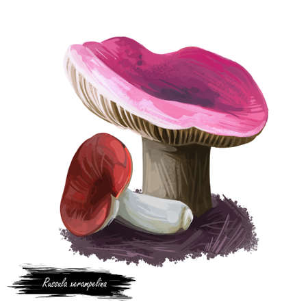 Russula xerampelina, crab brittlegill or shrimp mushroom mushroom closeup digital art illustration. Boletus has purple colored cap. Mushrooming season, plant of gathering plants growing in forests Stock Illustration - 130776827