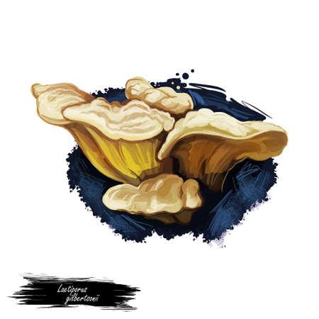 Laetiporus gilbertsonii mushroom closeup digital art illustration. Polypore pale colored fungus grows on eucalyptus tree. Mushrooming season, plant of gathering plants growing in woods and forests