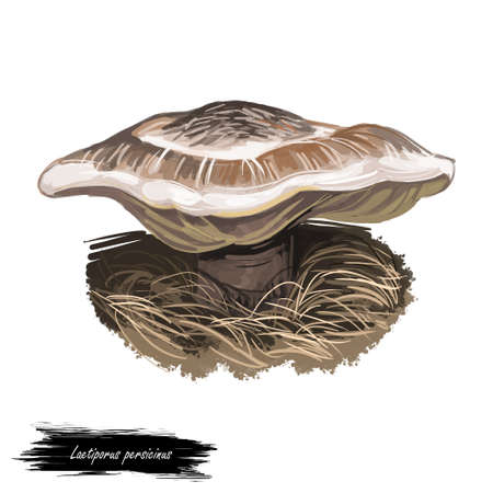 Laetiporus persicinus or white chicken mushroom closeup digital art illustration. Fungi have bicolor cap, white and brown. Mushrooming season, plant of gathering plants growing in woods and forests Stock Photo