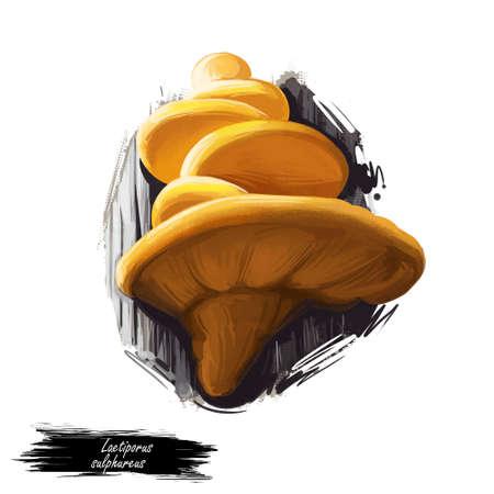 Laetiporus sulphureus, sulphur polypore or shelf mushroom closeup digital art illustration. Bracket fungus have orange cap. Mushrooming season, plant of gathering plants growing in woods and forests.