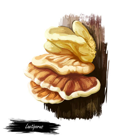 Laetiporus or sulphur shelf, chicken fungus or mushroom closeup digital art illustration. Boletus grows on thee and have sulphur-yellow to orange body. Mushrooming season, plant growing in forests.
