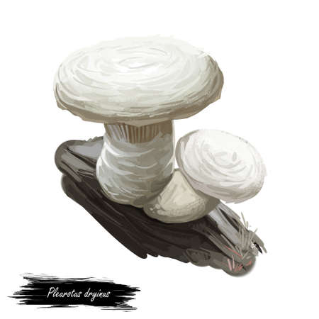 Pleurotus dryinus mushroom closeup digital art illustration. Boletus have white offset cap and body, grows on dead wood. Mushrooming season, plant of gathering plants growing in woods and forests