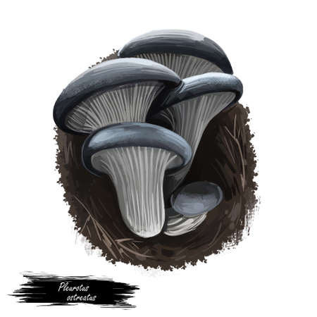 Pleurotus ostreatus, pearl or tree oyster mushroom closeup digital art illustration. Boletus have white body and grey cap. Mushrooming season, plant of gathering plants growing in woods and forest Stock Photo