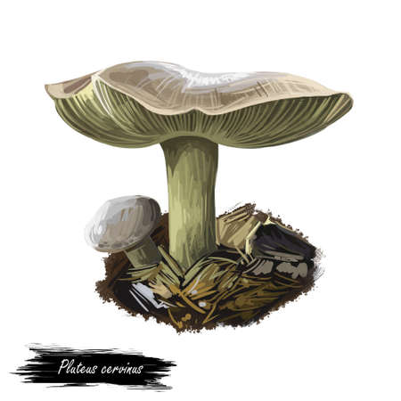 Pluteus cervinus or atricapillus, deer shield or fawn mushroom closeup digital art illustration. Boletus has light grey color. Mushrooming season, plant of gathering plants growing in wood and forest.