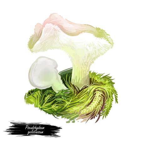 Pseudohydnum gelatinosum, toothed jelly mushroom closeup digital art illustration. Boletus have white body and cap like gelatin. Mushrooming season, plant of gathering plants growing in forests.