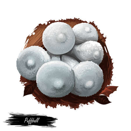 Puffball mushroom closeup digital art illustration. White boletus which clouds of brown dust spores emitted when fruit body impacted. Mushrooming season, plant of gathering plants growing in forest