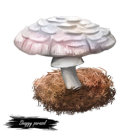 Shaggy parasol, Chlorophyllum rhacodes or rachodes mushroom closeup digital art illustration. Agaric with thick brown scales. Mushrooming season, plant of gathering plants growing in woods and forests
