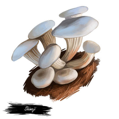 Shimeji mushroom closeup digital art illustration. White with beige cap. Boletus from Japanese that grows in groups. Mushrooming season, plant of gathering plants growing in woods and forests.