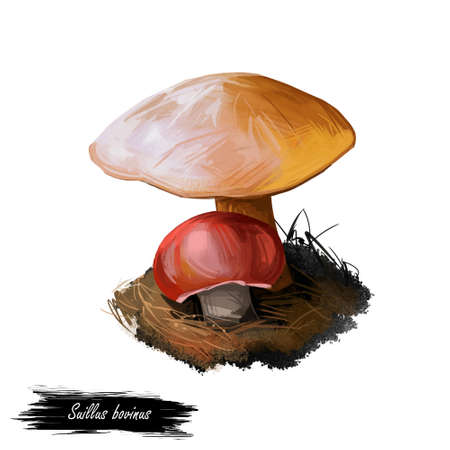 Suillus bovinus, Jersey cow or bovine bolete mushroom closeup digital art illustration. Boletus has a convex brown yellow cap. Mushrooming season, plant of gathering plants growing in woods and forests