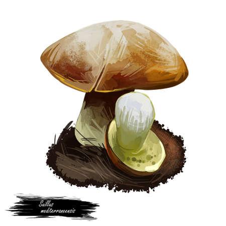 Suillus mediterraneensis Boletus mediterraneensis edible mushroom closeup digital art illustration. Boletus cap ande body. Mushrooming season, plant growing in woods and forests. Web print, clipart