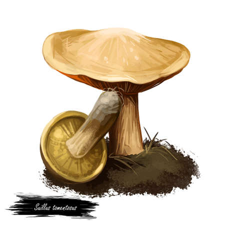 Suillus tomentosus Blue-staining Slippery Jack, Poor Man's Woolly-capped Suillus. Edible mushroom closeup digital art illustration. Mushrooming season, plant growing in forests. Web print, clipart Stock Illustration - 130777190