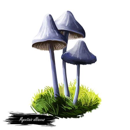Mycetinis alliaceus mushroom digital art illustration. Marasmius garlic parachute type of vegetable, natural organic plant realistic drawing with inscription. Watercolor print of nature veggie Stockfoto