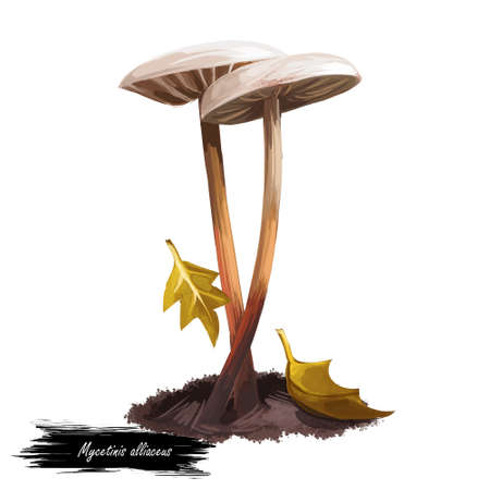 Mycetinis alliaceus digital art illustration. Mushroom watercolor print, natural organic meal with falling leaves in autumn biodiversity realistic drawing with inscription. Ripe veggie fungus Stockfoto