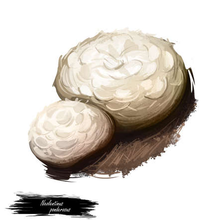 Neolentinus ponderosus digital art illustration. Giant sawgill mushroom watercolor print, Lentinus gloeophyllaceae natural vegetable realistic drawing. Edible food veggie with name inscription Stockfoto
