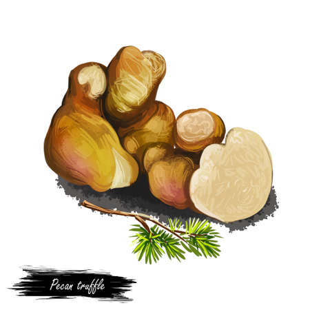 Pecan truffle lyonii mushroom digital art illustration. American brown truffle watercolor print realistic drawing with inscription. Edible food and foliage green leaves on ground organic plant