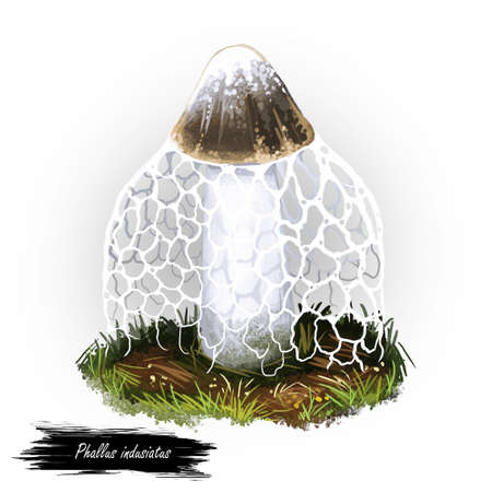 Phallus indusiatus mushroom digital art illustration. Bamboo fungus watercolor print, Hymenophallus Dictyophora indusiata ingredient realistic drawing. Organic meal, natural vegetable veggie Stock fotó