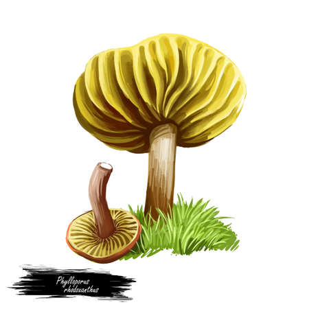 Phylloporus rhodoxanthus mushroom digital art illustration. Gilled bolete Boletaceae watercolor print of natural ingredient biodiversity. Realistic drawing with inscription fungus with grass Stok Fotoğraf