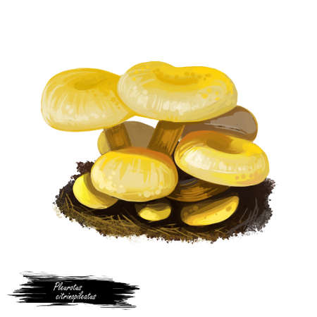 Pleurotus citrinopileatus mushroom digital art illustration. Cornucopiae subsp watercolor print, golden oyster watercolor print. Natural organic meal plant growing on ground, realistic drawing Stockfoto