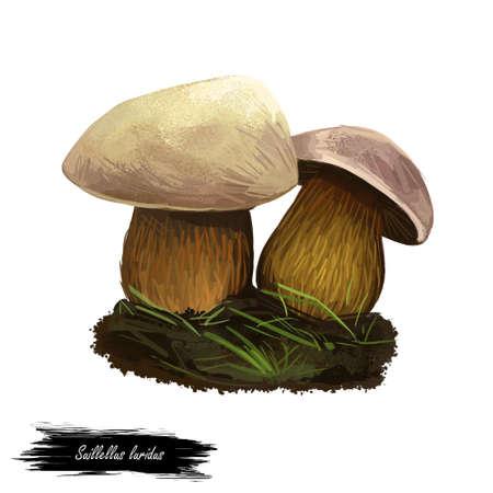 Suillellus luridus or lurid bolete mushroom closeup digital art illustration. Boletus with olive brown convex cushion shaped cap. Mushrooming season, plant of gathering plants growing in forests. Stock Photo