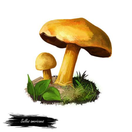 Suillus americanus or slippery cap, American slippery Jack or chicken fat mushroom closeup digital art illustration. Mushrooming season, plant of gathering plants growing in woods and forests.