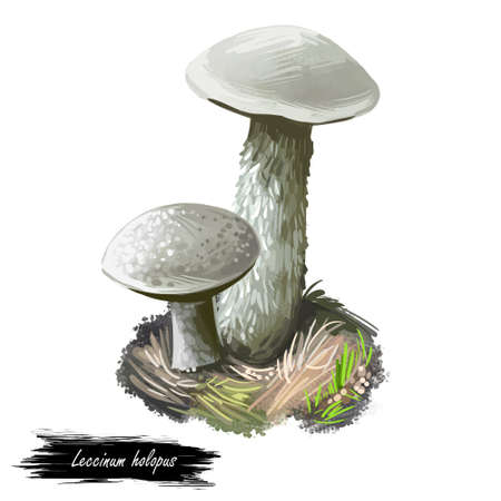 Leccinum Holopus mushroom digital art illustration. Ghost bolete plant growing in grass, plant ingredient ripe edible food fungus watercolor print, vegan meal. Seasonal veggie, closeup drawing Stockfoto