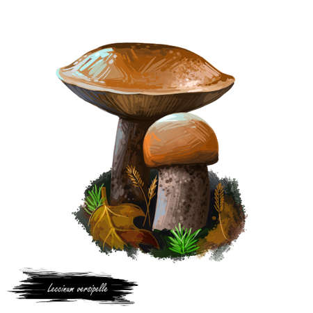 Leccinum versipelle mushroom digital art illustration. Boletus testaceoscaber veggie, watercolor print orange birch bolete vegetable organic meal, vegetarian food. Edible ingredient growing on ground