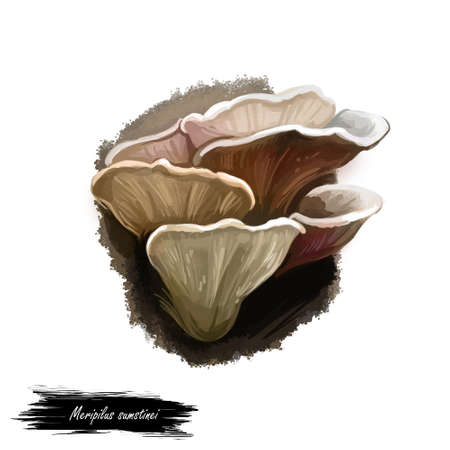Meripilus sumstinei mushroom digital art illustration. Giant polypore watercolor print, black-staining type of fungus Polyporus kind of vegetable.