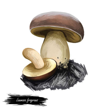 Lanmaoa fragrans mushroom close up digital art illustration. Fungi has white body and brownish convex cap has velvet texture. Mushrooming season, plant of gathering plants growing in woods and forests. Stock Photo