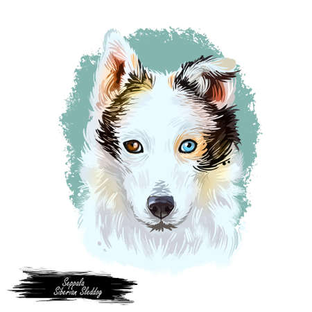 Seppala Siberian Sleddog sleeping dog digital art. Watercolor portrait of purebred domestic animal laying, isolated hand drawn doggy with small ears Siberia breed of puppys furry muzzle clip art.