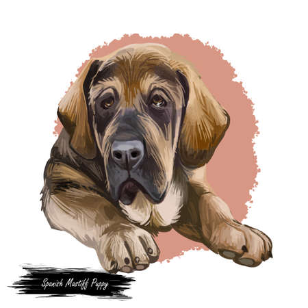 Spanish Mastiff Mastin espanol de campo y trabajo digital art. Watercolor portrait closeup of pet muzzle originated from Spain. Hand drawn canis canine snout with prolonged face and smooth fur.