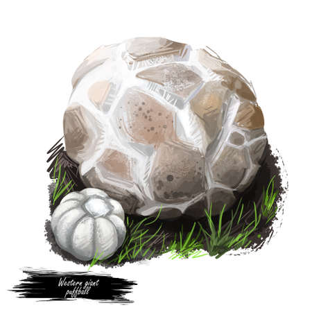 Western giant puffball or Calvatia booniana mushroom closeup digital art illustration. Boletus has round shaped body. Mushrooming season, plant of gathering plants growing in woods and forests Stock Illustration - 131069115