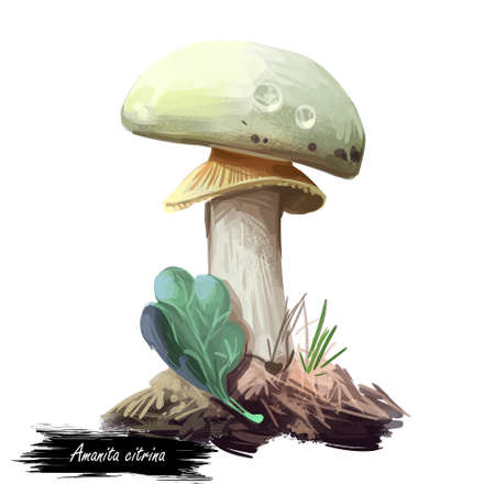 Amanita citrina or mappa, false death cap mushroom closeup digital art illustration. Boletus has white cap, stem and volva. Mushrooming season, plant of gathering plants growing in woods and forests