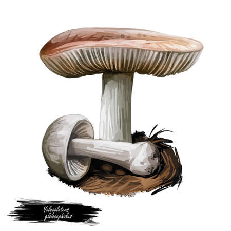Volvopluteus gloiocephalus big sheath mushroom, rose-gilled grisette, ostubble rosegill, species of mushroom in family Pluteaceae digital art illustration. Web print, clipart design. Hand drawn fungus