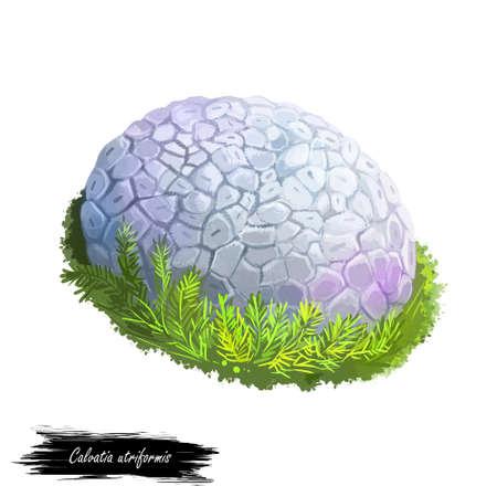 Calvatia or Handkea utriformis or mosaic puffball mushroom closeup digital art illustration. Boletus has spherical white body. Mushrooming season, plant of gathering plants growing in wood and forest. Stock Illustration - 131069124