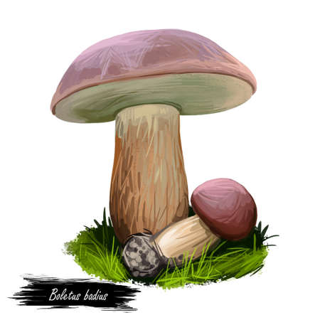Boletus badius, Imleria badia or bay bolete mushroom closeup digital art illustration. Edible and pored fungus has velvety dark brown cap. Mushrooming season, plant growing in woods and forests