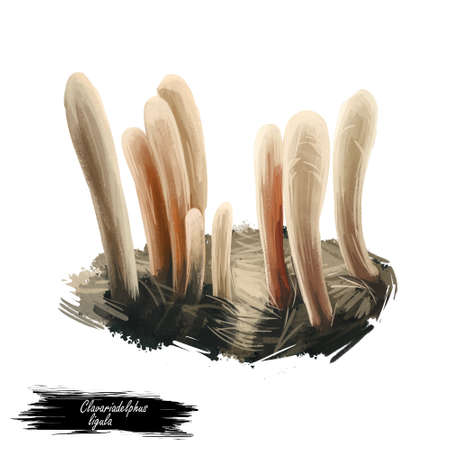Clavariadelphus ligula or strap coral mushroom closeup digital art illustration. Boletus has white cream straight stem. Mushrooming season, plant of gathering plants growing in woods and forests.