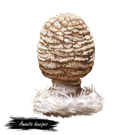 Amanita daucipes, carrot footed Lepidella or turnip foot mushroom closeup digital art illustration. White with pale orange hue cap. Mushrooming season, plant of gathering plants growing in forests