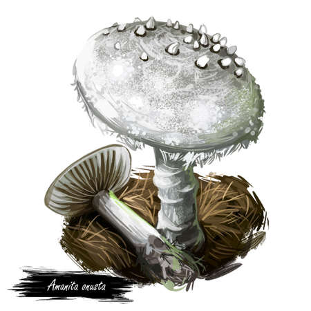 Amanita onusta, loaded or gunpowder Lepidella mushroom closeup digital art illustration. Boletus has light grey cap with warts. Mushrooming season, plant of gathering plants growing in forests.