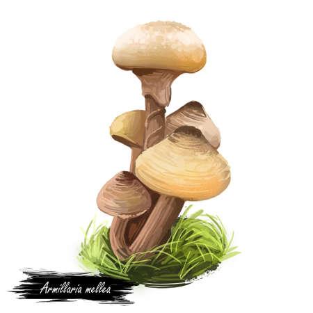 Armillaria mellea or honey fungus, basidiomycete mushroom closeup digital art illustration. Boletus has light yellow cap and same body. Mushrooming season, plant growing in woods and forests.