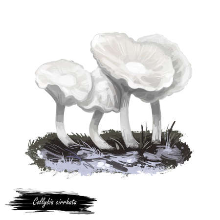 Collybia cirrhata mushroom closeup digital art illustration. Boletus has white fruit body and cap, depressed in center. Mushrooming season, plant of gathering plants growing in woods and forests.