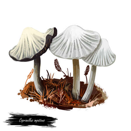 Coprinellus impatiens mushroom closeup digital art illustration. Boletus has deep narrow grooves in cap. Fungus has white fruit body. Mushrooming season, plant of gathering plants growing in forests
