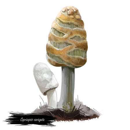 Coprinopsis variegata, scaly ink or feltscale inky mushroom closeup digital art illustration. Boletus has thin, oval shaped cap. Mushrooming season, plant of gathering plants growing in forests.