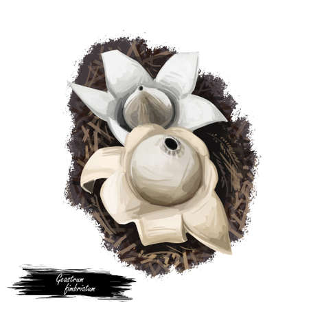 Geastrum fimbriatum, fringed or sessile earthstar mushroom closeup digital art illustration. Boletus has white or cream fruit body and looks like start or flower. Plants growing in woods and forests Stock Illustration - 131069255