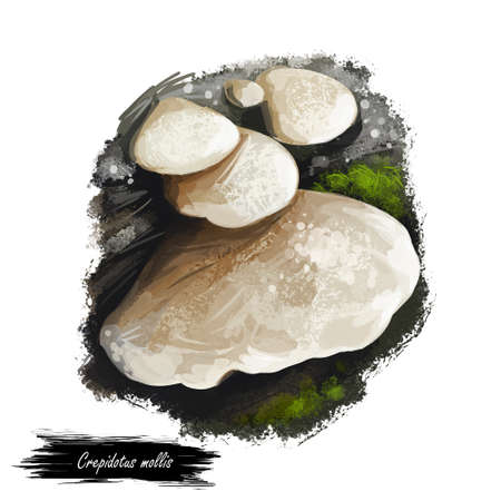 Crepidotus mollis or peeling oysterling, soft slipper and jelly crep mushroom closeup digital art illustration. Boletus has white cream cap. Mushrooming season, plants growing in woods and forests. Stock Photo
