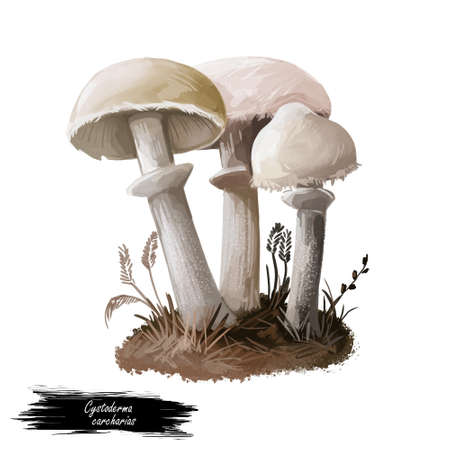 Cystoderma carcharias mushroom closeup digital art illustration. Boletus has off white and pale tinged cap with ring. Mushrooming season, plant of gathering plants growing in woods and forests. Stock Illustration - 131069258