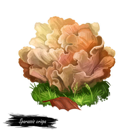 Sparassis crispa or cauliflower fungus, mushroom closeup digital art illustration. Lobes flat and curly, coloured creamy yellow. Mushrooming season, plant of gathering plants growing in forests Stock Illustration - 131069264