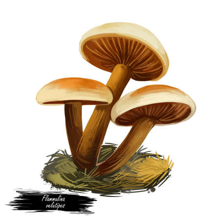Flammulina velutipes, winter fungus or futu, velvet foot, stem or shank, seafood mushroom closeup digital art illustration. Boletus has light yellow cap and body. Mushrooming season, plants in forests
